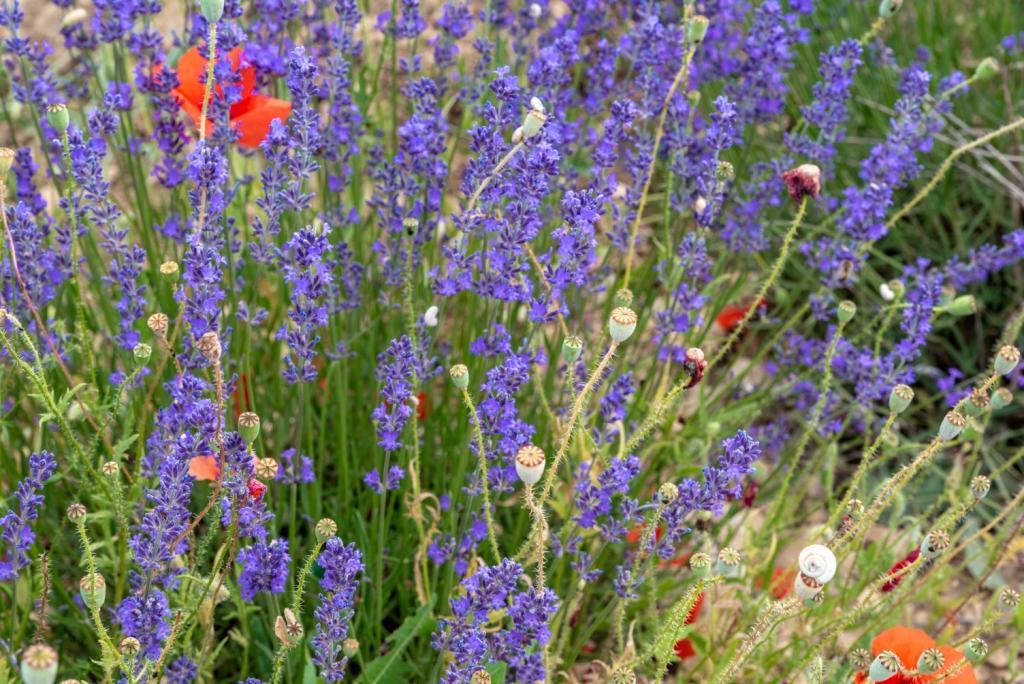 376 Lavendel