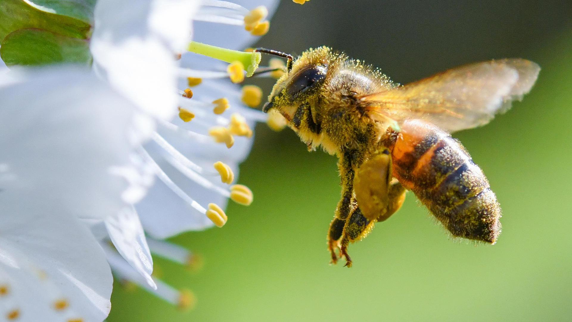 ARCHIV - ILLUSTRATION - 19.04.2018, Brandenburg, Markendorf: Eine Biene ist im Anflug auf eine Süßkirschblüte auf einer Obstbaumplantage. (zu dpa «Freilandverbot von Neonikotinoiden? EU-Staaten stimmen amFreitag ab» vom 24.04.2018) Foto: Patrick Pleul/dpa-Zentralbild/dpa +++ dpa-Bildfunk +++